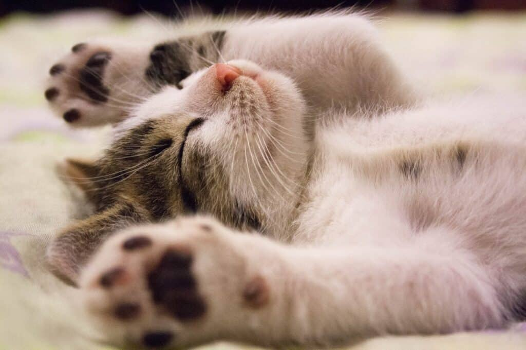 kitten lying on surface. cat exposing belly. cats show affection for humans