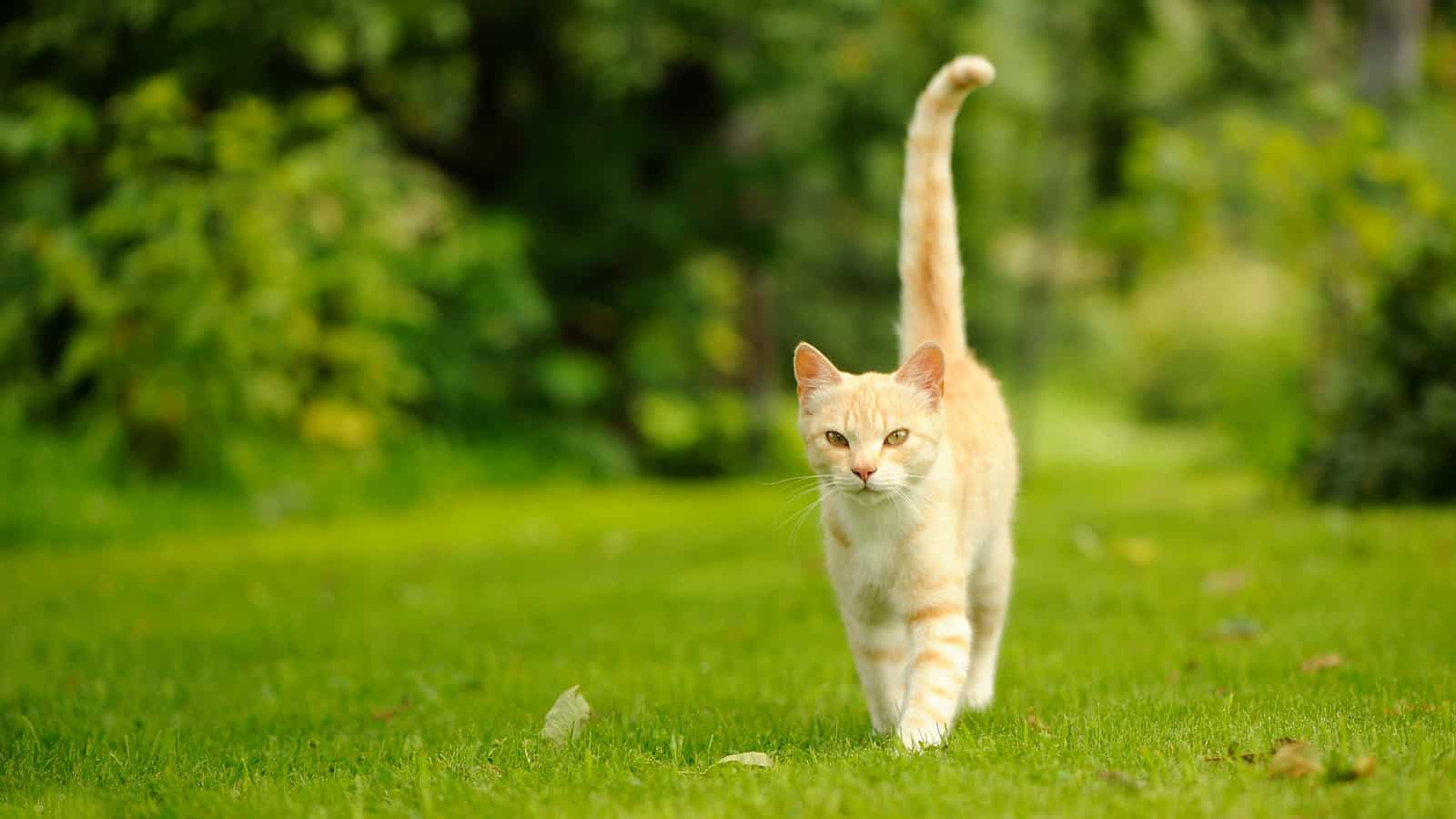 cat walking with tail up