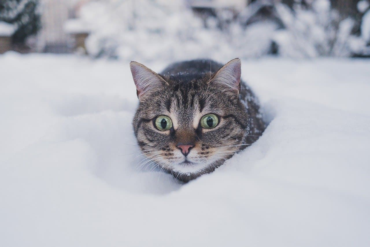 cat getting cold in snow